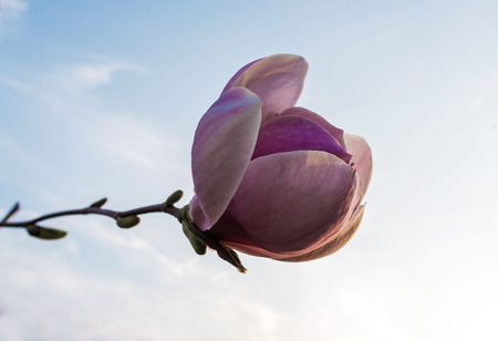 washed out: Beautiful pink magnolia with soft focus. Coloured applied effect of toning.