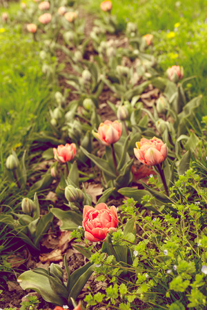 accents: Beautiful tulips with bright accents. Color toning effect is applied. Stock Photo