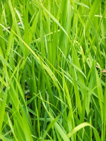 green background: Green grass background green grass closeup