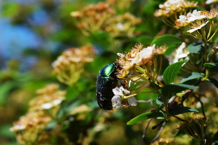latent: green beetle on a plant flowers summer nature Stock Photo