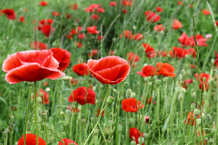 The red poppy flower with petals of summer stock photo picture and stock photo the red poppy flower with petals of summer mightylinksfo