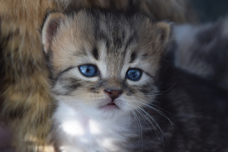 handsome a small kitten with blue eyes eyes bushy Stock Photo