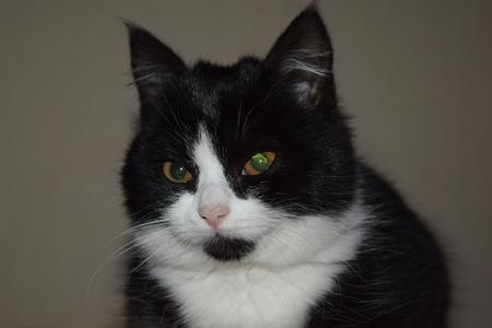 Black bushy cat mystical look. Pet sitting on pillow Imagens