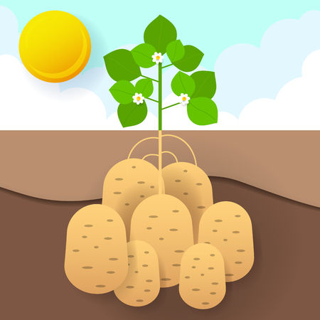 Sweet potatoes in the garden EPS 10 vector stock illustration. Nature Illustration