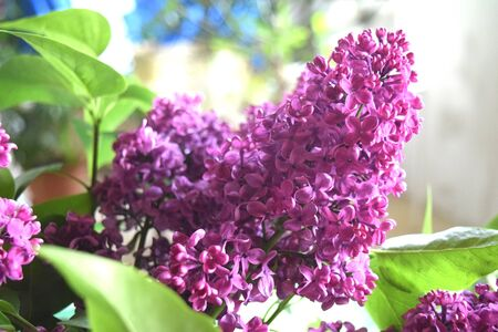 Spring Branch Of Blossoming Lilac Background For Your Web Design And Needs