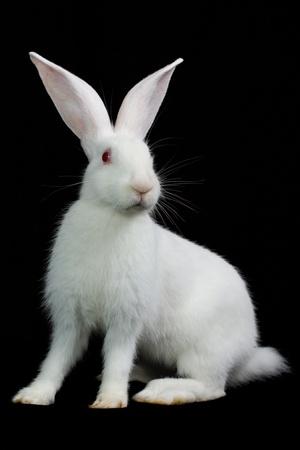 wit konijn: Wit pluizig konijn op een zwarte achtergrond