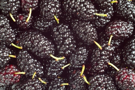 A pile of black mulberry photo