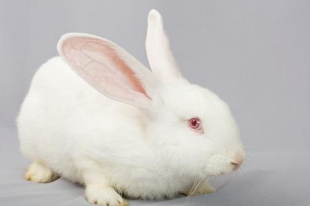 White rabbit on a gray background photo