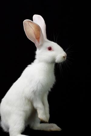 black and white farm animals: White rabbit Stock Photo