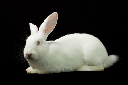 White rabbit Stock Photo - 13098198