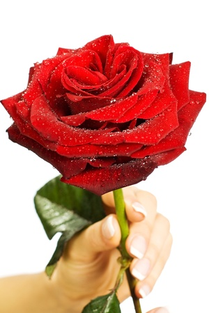 Red rose in female hand on a white background Stock Photo - 13116844
