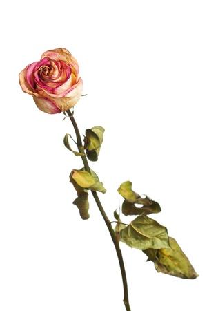 sapless: La rosa appassita su sfondo bianco