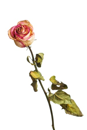 The dried rose on a white background Stock Photo - 13205954