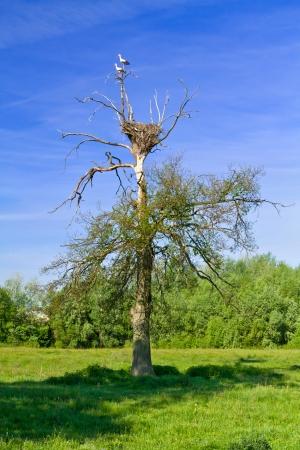 Dead tree on a green meadow photo