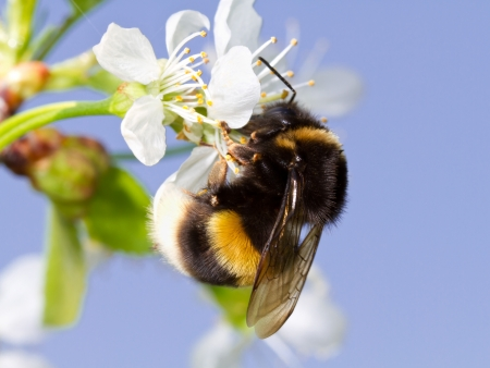 A bumblebee on a white flower Stock Photo - 13828963