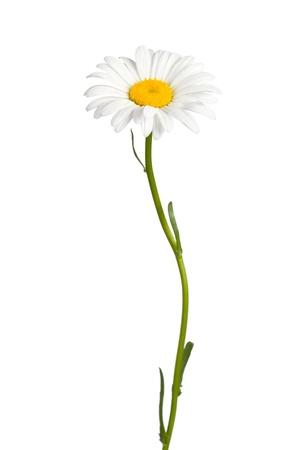 Daisy aisladas sobre fondo blanco
