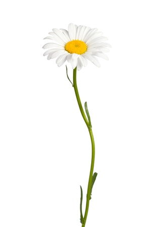 Daisy geïsoleerd op witte achtergrond