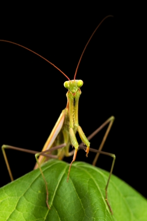 arthropod: Praying mantis isolated on black background