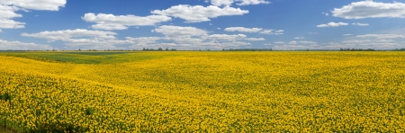 Field of yellow sunflowers, landscape, panorama photo