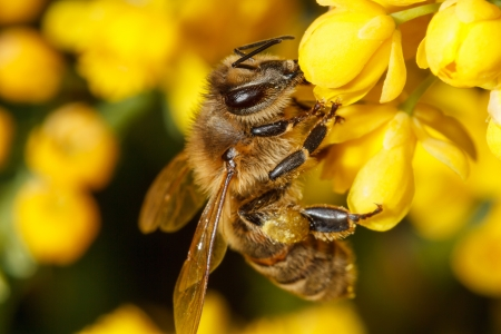 aculeata: Bee working on a yellow flower