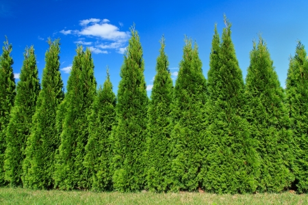A beautiful row of cypress trees