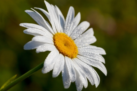 White Daisy in the dew photo