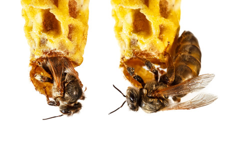 abeja reina: La abeja reina aisladas sobre fondo blanco Foto de archivo