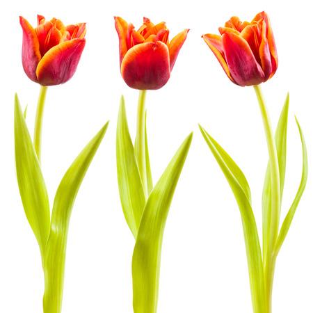 tulipan: Tulipan wyizolowanych na białym tle Zdjęcie Seryjne