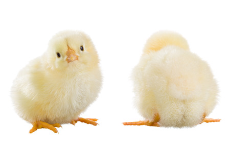 ry: Yellow chicken isolated on white background Stock Photo