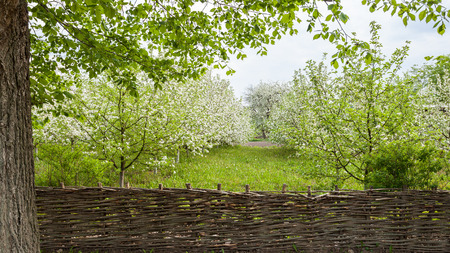 fenced: Blooming Apple trees fenced wicker fence Stock Photo