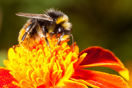 industrious: Bumblebee is working on a yellow flower