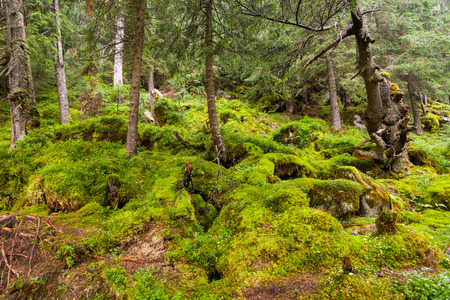 thickets: Thickets of moss in the Carpathian forest Stock Photo