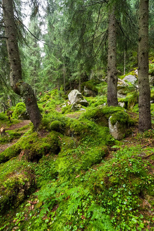 carpathian: Thickets of moss in the Carpathian forest Stock Photo