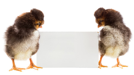 soft sell: Two chicken with a sheet of paper for text on a white background
