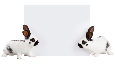 soft sell: Two white rabbit with a sheet for writing text Stock Photo