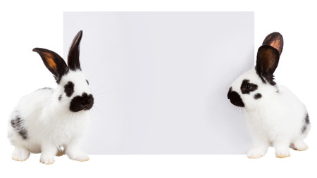soft sell: Two white rabbit with a white sheet of paper for text