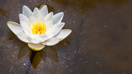 waterlilly: White Lily floating on the water in the pond