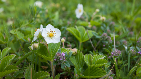 Flower of wild strawberry on background of green leaves and grass Stock Photo