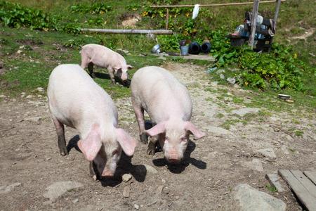 pigpen: Curious pigs walk around the yard
