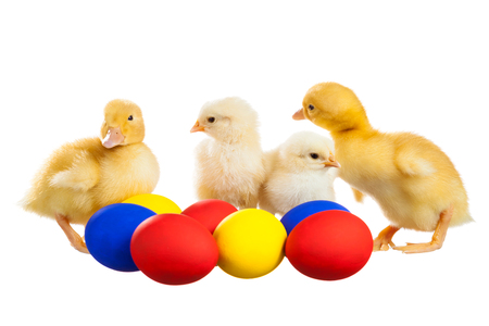Little fluffy chickens and ducklings with colored eggs Reklamní fotografie