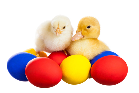 Yellow chick and the duckling sitting on colorful eggs