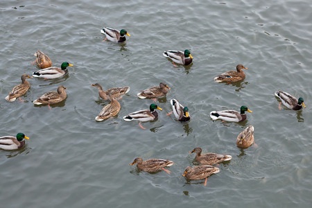 A flock of ducks on the river Stock Photo