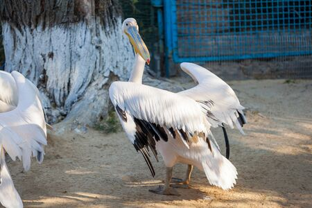 Great White Pelican lives in a zoo Banco de Imagens - 137967025