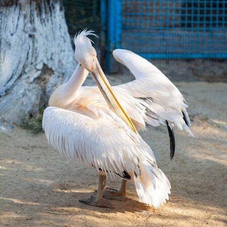 Great White Pelican lives in a zoo Banco de Imagens - 137967027