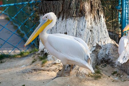 Great White Pelican lives in a zoo