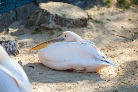 Great White Pelican lives in a zoo Banco de Imagens - 137967034