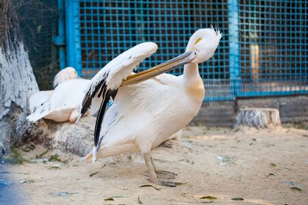 Great White Pelican lives in a zoo Banco de Imagens - 137967038