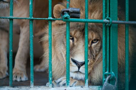 Lion in a cage at the zoo Stok Fotoğraf