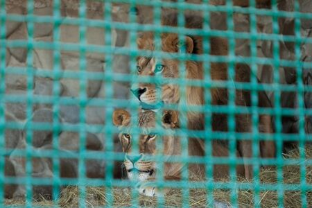 Lions in a cage at the zoo Stok Fotoğraf