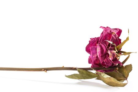 Dried rose isolated on white background, dead flower